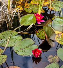 IMG_7212-1 (Andre56154) Tags: schweden sweden sverige pflanze blume flower blüte blossom seerose waterlily water