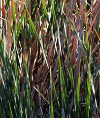 Camouflage Expert! -- American Bittern (Botaurus lentiginosus); Tucson, AZ, Sweetwater Wetlands [Lou Feltz] (deserttoad) Tags: bird wildbird animal nature scenic arizona bittern reeds behavior