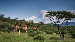 1709 Kenya 2217 (andre.callewaert) Tags: kenya baringo girafe