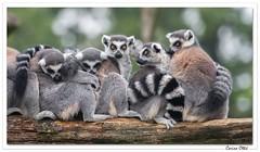 """"""" Quand il fait froid, on se tient chaud ! """" (C. OTTIE et J-Y KERMORVANT) Tags: nature animaux mammifères lémuriens makicatta lemurcatta parcanimalier france"""