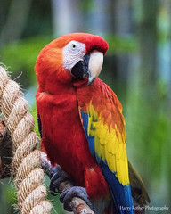 """Scarlet Macaw  """"Ara macao"""" (Harry Rother) Tags: parrot macaw color"""