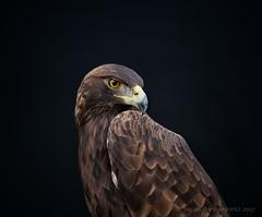 Golden Eagle (Susan Newgewirtz) Tags: goldeneagle nikon nikond850 wildlifephotography raptor closeup 2017 ontario