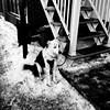 Il faut avoir de la patience avec les humains... (woltarise) Tags: chien attente magasinage fêtes hiver noêl montréal glace neige littledoglaughednoiret