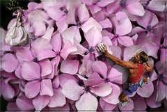 Reach for a dream (PaulO Classic. ©) Tags: hydrangea canon eos450d capetown photoshop picmonkey