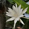 Queen of the night, Epiphyllium oxepetalum (polyphemus_polly) Tags: whiteflowers nightblooming cereus