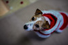 Merry Christmas! (moaan) Tags: sigma50mmf14dghsm kobe hyogo japan jp dog jackrussellterrier kinoko xmas happyholidays indoor outsideisrain costumed dof depthoffield bokeh bokehphotography canoneos5dsr 50mm f14
