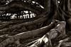 Arbol monumental (El s@lmón) Tags: roots tree oldest