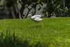 L' AIRONE    ----    THE HERON (cune1) Tags: natura nature animali animals uccello bird erba grass foresta forest africa costadavorio leslagunes
