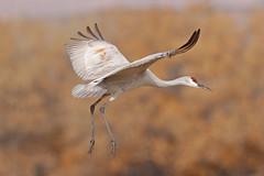Sandhill Crane (Alan Gutsell) Tags: birds bird birding alan nature sandhill crane sandhillcrane nationalpark bosque ponds wildlife newmexico