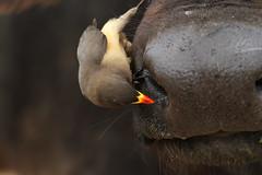 Buphagus africanus (Yellow-billed Oxpecker) (Nick Dean1) Tags: buphagusafricanus oxpecker yellowbilledoxpecker thewonderfulworldofbirds birdperfect birdwatcher animalia chordata aves bird krugernationalpark southafrica