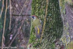 Picus viridis ♂ - Green Woodpecker (bollejeanclaude) Tags: pics oiseaux passeraux insectivores photos nature birds vogels longchamps wallonie belgique be nikoniste nikond750 picvert