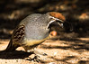 Gamble's Quail (gilamonster8) Tags: yellow gamles quail bird animal quality arizona american wing white stick explore explored e eyes eos eat ef400mm56l eyeball desert common canon crested red flickrelite fly tucson tail talons view gray garden bokeh beyondbokeh beak black bill brown ngc leaves orange 7dmarkii