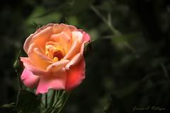 Rosa naranja y rosada (Javier A. Villagra) Tags: rosa naranja planta bella romántica canon 800d t7i efs18135mmf3556isstm patagonia argentina