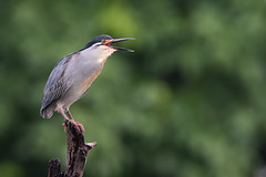 Striated heron (Butorides striata) with beak open (Dave Montreuil) Tags: africa butorides little adult african animal bird east green greenbacked heron liwonde malawi nationalpark perched perching south striata striated wader