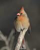 Ms Cardinal-46802.jpg (Mully410 * Images) Tags: female birdwatching birding cardinal backyard northerncardinal bird birds birder portrait