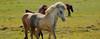 IJslandse paard/ Icelandic horse (Meino NL OFF LINE) Tags: iceland ijsland icelandichorse paard ijslandsepaard