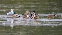 Standing out from the crowd (briancrumpton74) Tags: frozen lakelife mallards drakes drake mallard seagull