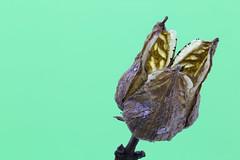 Faded beauty / Verblühte Schönheit - 2018-01-02 (Pascal Volk) Tags: macro makro 65mm closeup nahaufnahme macrodreams bokeh dof depthoffield focusstacking focalplanemerging schärfentiefeerweiterung deepfocusfusion dff apilamientodeenfoque extrememacro natur nature naturaleza pflanze plant planta blume flower flor blüte blossom bloom floral flowerpower invierno winter berlin lichtenberg landschaftsparkherzberge landscapepark berlinlichtenberg withered faded verblüht marchitas canoneos6d canonmpe65mmf2815xmacrophoto manfrotto mt055xpro3 468mgrc2 novoflex castell castelq dxophotolab crossedrails heliconfocus 7dwf