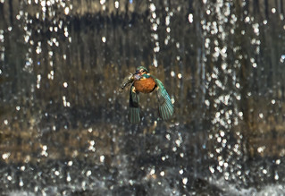 Kingfisher - Waterfall Catch