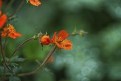 Gruß aus dem Garten (blichb) Tags: 2016 bayern blumen deutschland inningamammersee makro natur pflanzen sony90mmf28macrogoss sonya7rii blichb closeup garten meingarten bokeh blume orange
