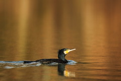 Cormorant (Teruhide Tomori) Tags: takaragaikepond kyoto bird nature water aquaticbird wild animal rakuhoku japan japon cormorant 鵜 宝ヶ池 野鳥 鳥 水鳥 京都 日本 自然