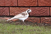Pee Wee or Margpie Lark 148 7314 (Ken Griffiths - Naturally wild Photography) Tags: pee wee peewee magpielark leucism leucistic