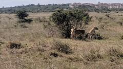 2017-12-28 14.55.56 (dcwpugh) Tags: travel nairobi kenya safari nairobinationalpark