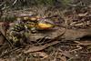 Blotched Blue-tongue Lizard (Tiliqua nigrolutea) (peter soltys) Tags: peter soltys photography wildlife adventure australia reptile evolution blotched blue tongue lizard tiliqua nigrolutea skink