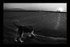 Come, have a drink in paradise (alestaleiro) Tags: can dog perro cachorro pet drinking bebiendo bebendo animal sede sed thirsty jeri monocromo mono monochrome bw pb bn sole tramonto atardecer pôdosol ceará brasil alestaleiro