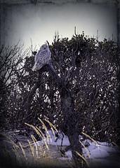 Snowy Owl (erhewitt50) Tags: islandbeachstateparknj owl snowy snowyowl