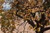 Diospyros kaki (esta_ahi) Tags: diospyroskaki diospyros kaki caqui palosanto ebanaceae fruto frutos lesclotes lallacuna anoia barcelona spain испания españa