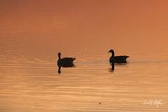 Two Geese In The Afterglow Of Sunset (dcstep) Tags: dsc6724dxo geese canadageese cherrycreekreservoir sunset glow orange red silhouette sonya7riii fe100400mmf4556gmoss fe14xteleconverter handheld nature urban urbannature cherrycreekstatepark colorado usa aurora allrightsreserved copyright2017davidcstephens dxophotolab feather