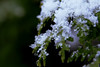 first snow (nelesch14) Tags: macro snow winter cold green white contrast nature crystal covering
