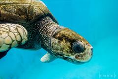 Tartaruga Verde (Jaime Sales) Tags: turtle green verde vitória es espíritosanto brasil brazil projeto tamar tartaruga marinha azul blue water animal réptil selvagem wonderful