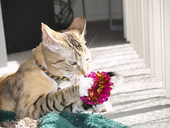 private 029 (lorablong) Tags: westhollywood california cat pet twix