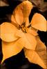 (Cliff Michaels) Tags: iphone06 photoshop flower pse9 kroger pointsettia