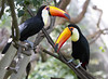 Toucan Pair (San Diego Shooter) Tags: bird birds color sandiegozoo toucan bokeh sandiego