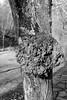 Boule d'arbre (ZUHMHA) Tags: bulgarie bulgaria hiver winter shipka mousse tronc bois wood tree campagne campain matière texture macro