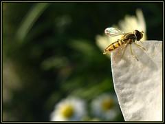 IMG_5905 Strange Dream 7-5-11 (arkansas traveler) Tags: hoverfly bichos bugs insects flowers daisies macro macrolicious nature naturewatcher natureartphotography bokeh bokehlicious