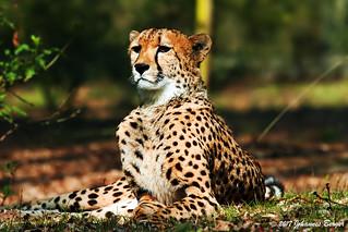 Cheetah on watch