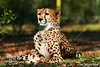 Cheetah on watch (Johannes Berger) Tags: cheetah wildlife predator animal safari safaripark beeksebergen canon eos eos7d nature netherlands thenetherlands acinonyxjubatus felinae acinonyx
