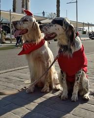 Lifemates (Raquel Borrrero) Tags: dog christmas walk red street callejera perros animal animallife navidad nikon perro