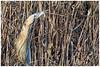 Bittern. (vegetus aer) Tags: woodwaltonfen greatfen greatfenproject wildlifetrust bcnwildlifetrust nnr cambridgeshire bittern sony rx10m3