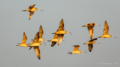 Marbled Godwits (Bob Gunderson) Tags: alamedacounty arrowheadmarsh birds california eastbay limosafedia marbledgodwit northerncalifornia sandpipers shorebirds hisone bob