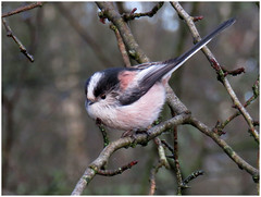 Long-tailed Tit, Finglandrigg Wood Nature Reserve, 5 January 18 (gillean55) Tags: canon powershot sx60 hs superzoom bridge camera north cumbria finglandrigg wood nature reserve nnr kirkbampton longtailed tit aegithaloscaudatus