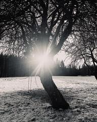 "~ sunny day ~ Riddarhyttan, Sweden iPhone 7 iPhone filter ""silvertone"" (Tankartartid) Tags: fields countryside landsbygd landscape swing gunga träd snö snow vinter winter sunshine sun tree trees nordic norden västmanland riddarhyttan europe sverige sweden natur nature picsart svartvitt blackandwhite bnw instagram ifttt"