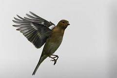 Pinson_A724724_DxO (jackez2010) Tags: ilce7m2 fe100400mmf4556gmoss bif birdinflight pinsondesarbres