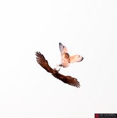 Food Fight! (jamescaldwell1) Tags: shortearedowl northernharrier hawk owl fight mouse wwwjaycaldwellphotographycom kansas