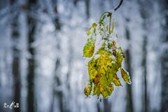 When autumn and winter come together (Renate van den Boom) Tags: 12december 2017 boom bos europa gelderland jaar landschap maand natuur nederland oosterhout renatevandenboom sneeuw weer