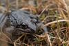 Rana ornativentris (kenta_sawada6469) Tags: amphibian amphibians nature japan amphibia herptile herptiles wildlife herping water freshwater frog frogs
